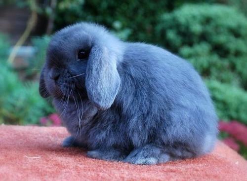 荷兰垂耳兔能活多久